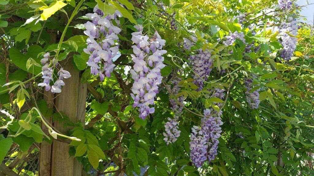 Blauregen mit grünem Laub und Blütentrauben