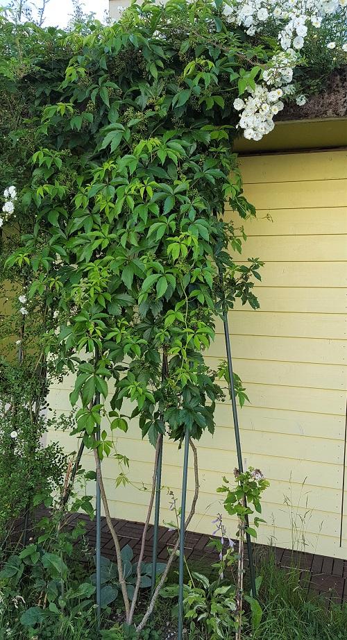 Jungfernrebe quinquefolia im Juni