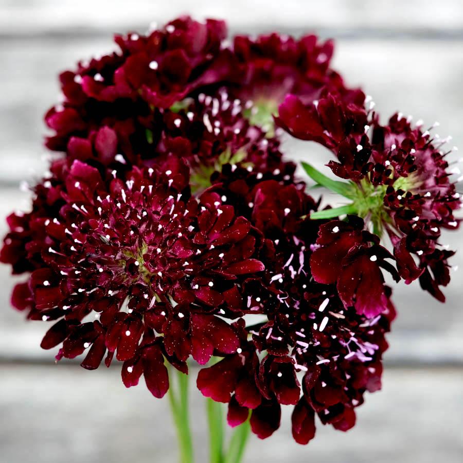 Jora Dahl Blumensamen winterhart Skabiosa